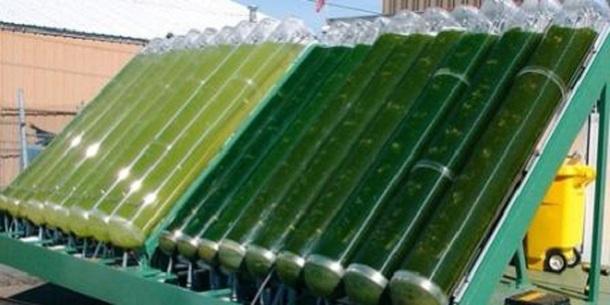 Des bioréacteurs expérimentaux de microalgues.